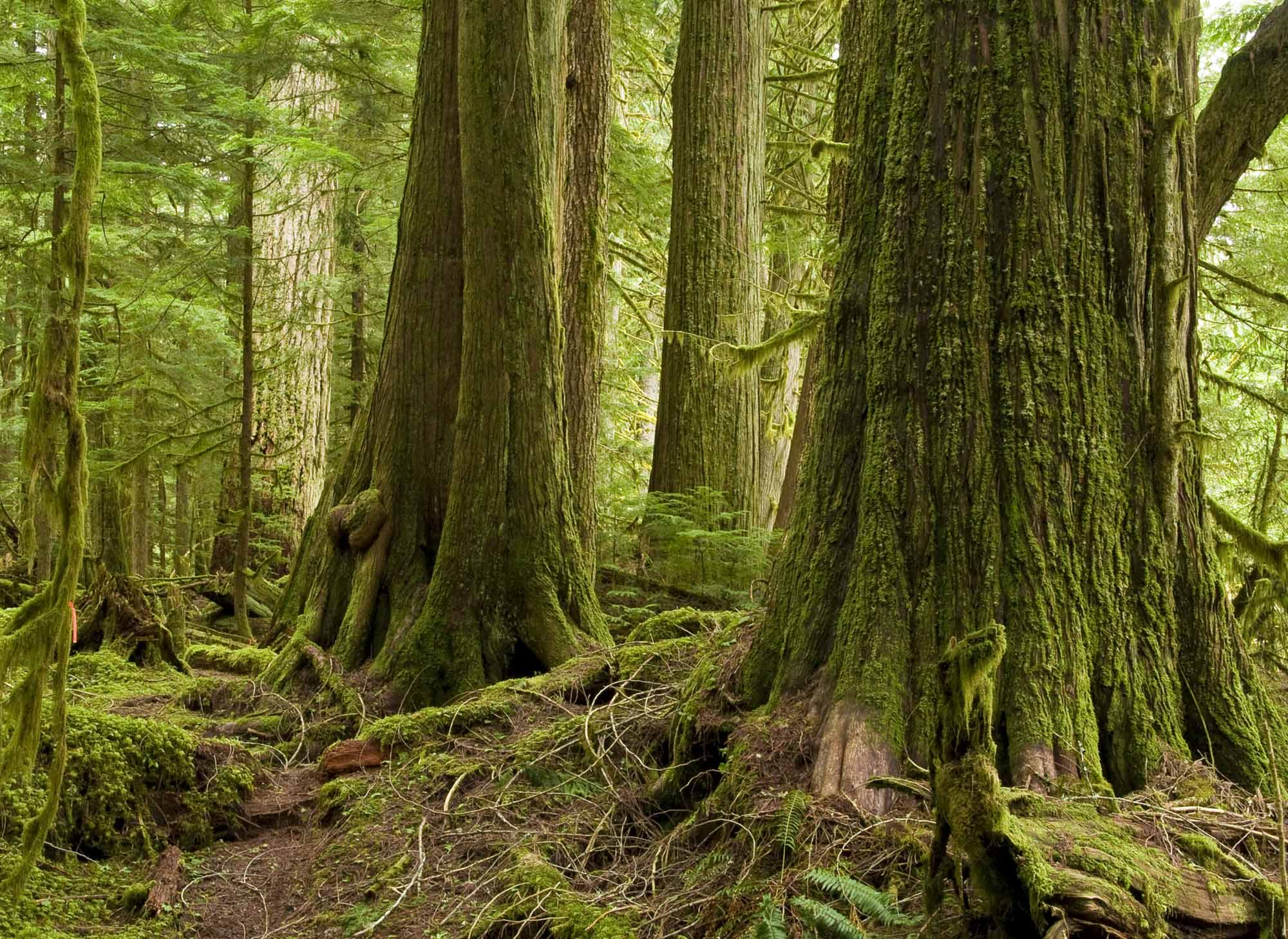 Image result for trees in bc