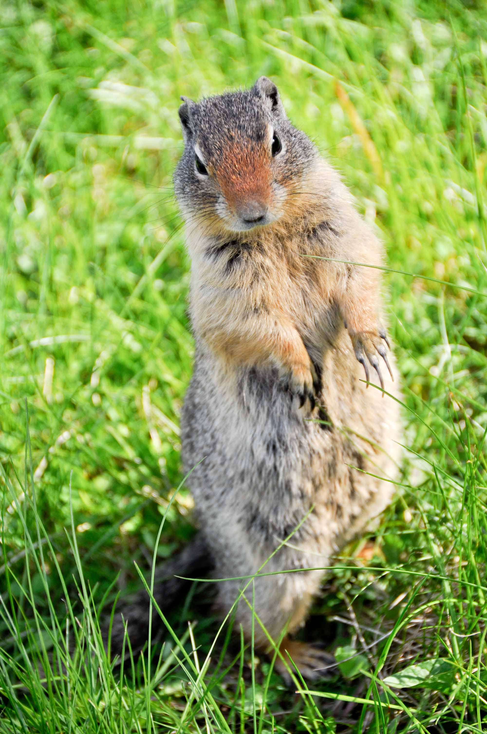 A curious prairie dog, Banff National Park, Canada