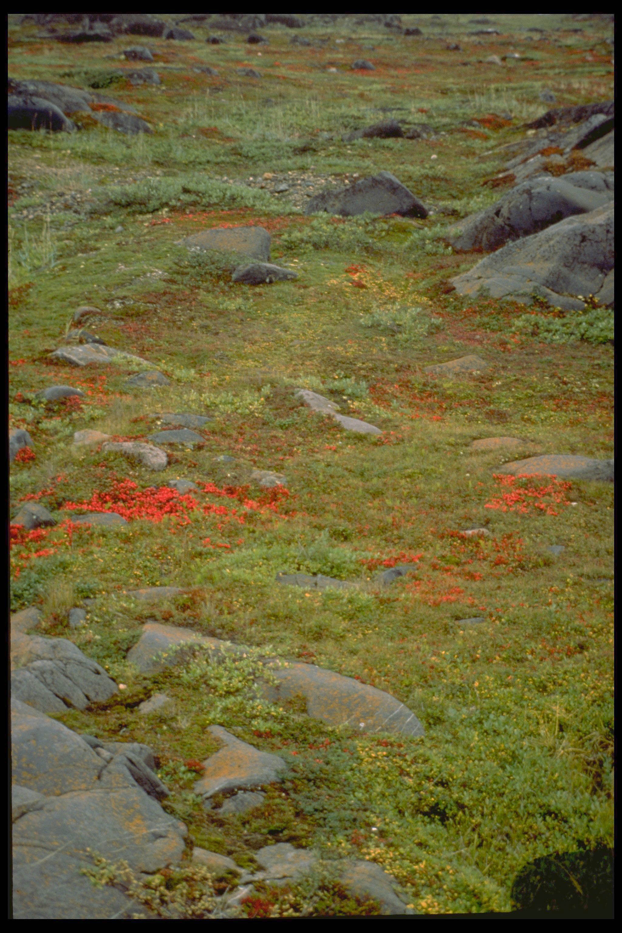 Tundra Vegetation