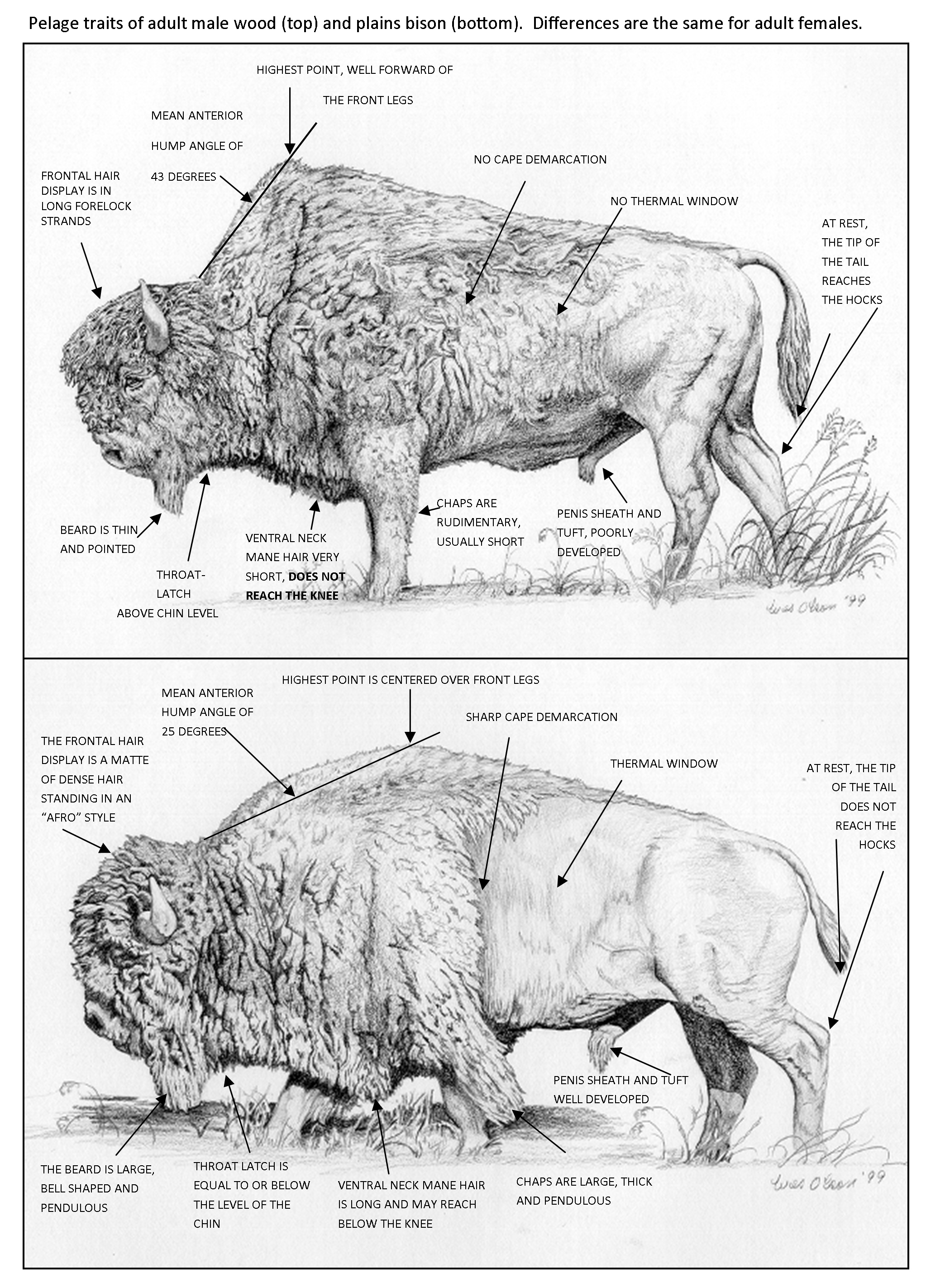 Plains Bison vs Wood Bison