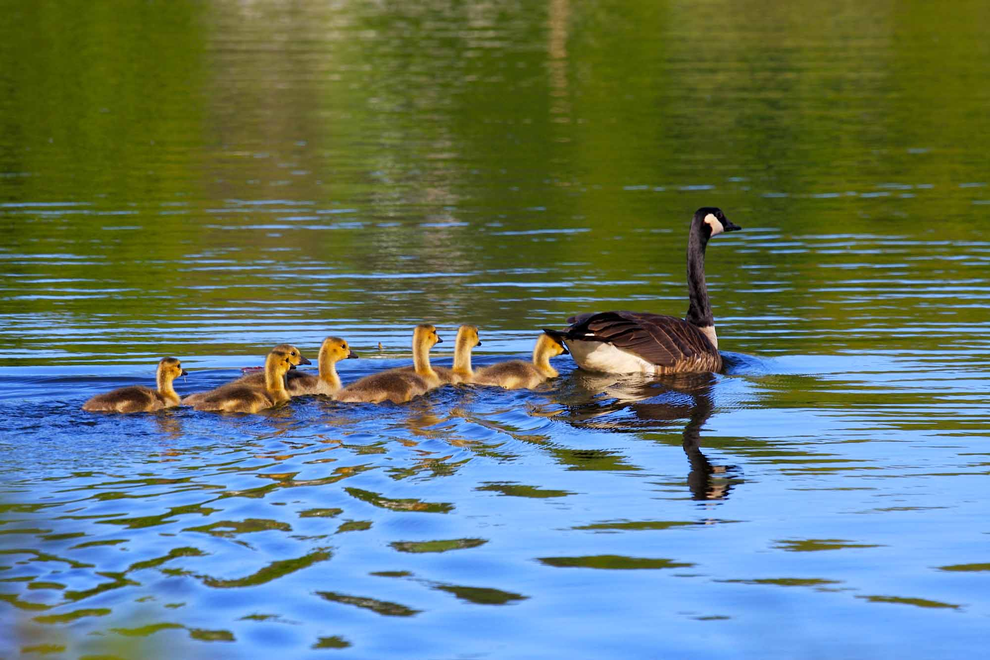 Canada Geese in Spring