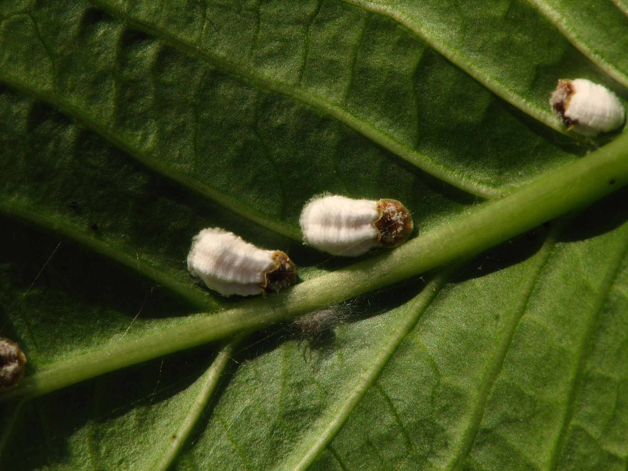Soft scale insect