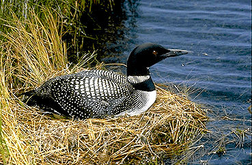 Loon, Common