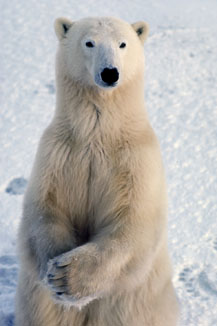 Polar Bear Sitting