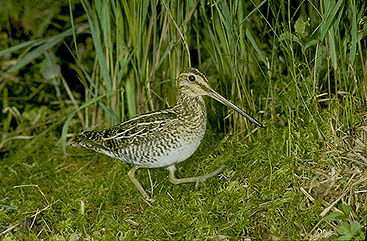 Snipe, Common