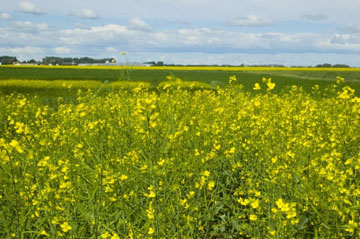 Genetically Modified Canola