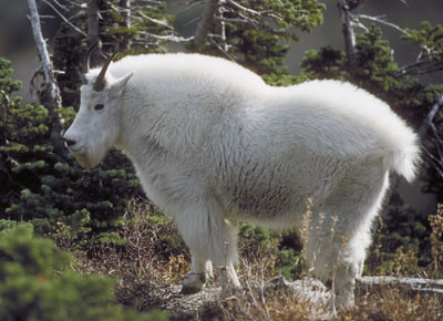 Kootenay national park the canadian encyclopedia mountain goat sciox Image collections