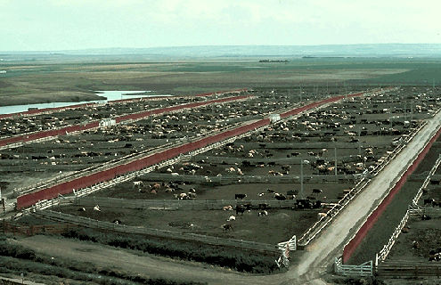 Feed Lot in Saskatchewan.