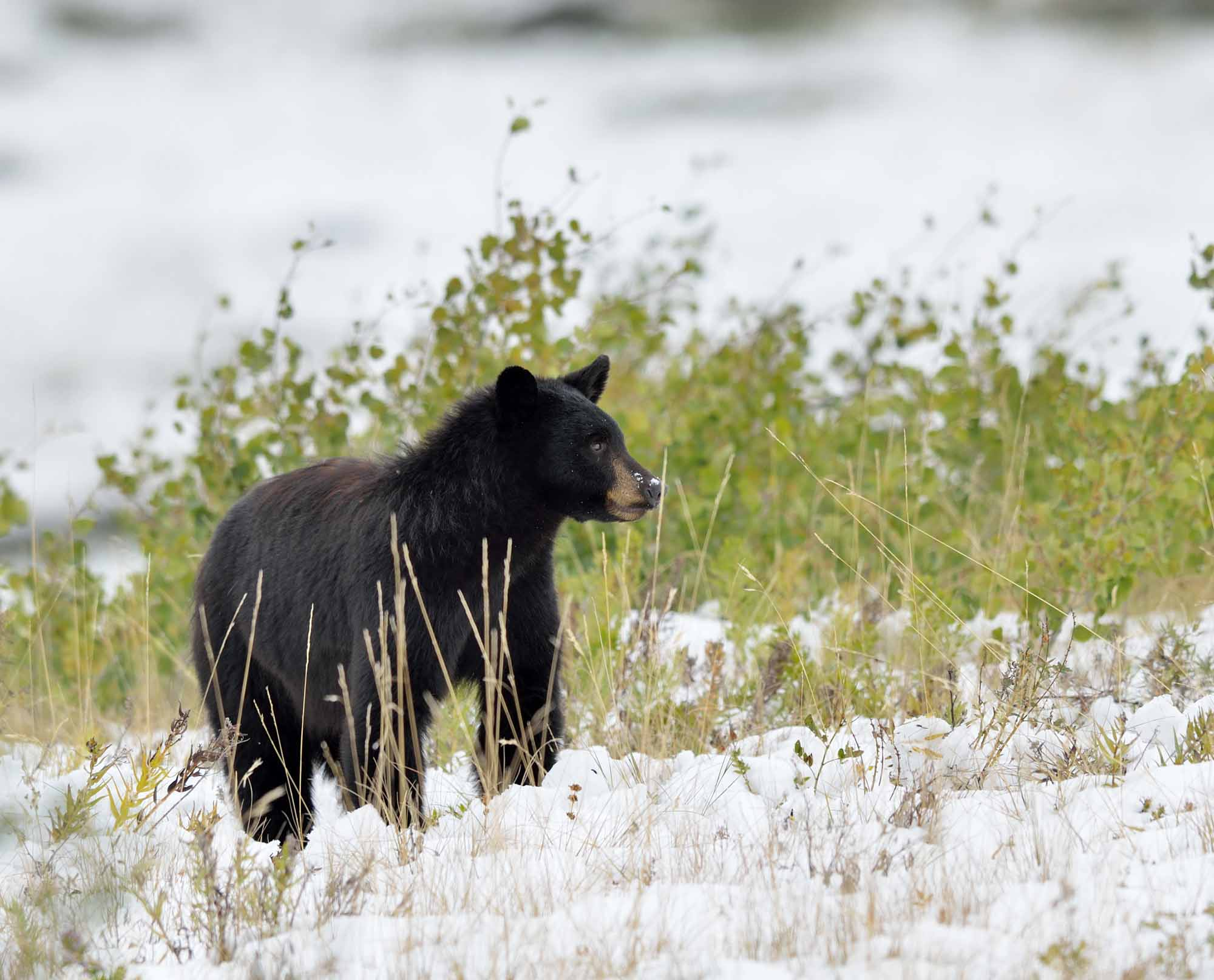 Black Bear in Snow
