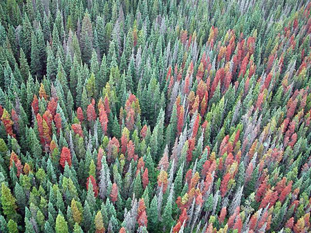 Mountain Pine Beetle Infestation