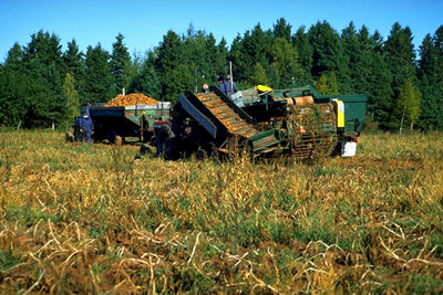 Potato Harvesting, PEI
