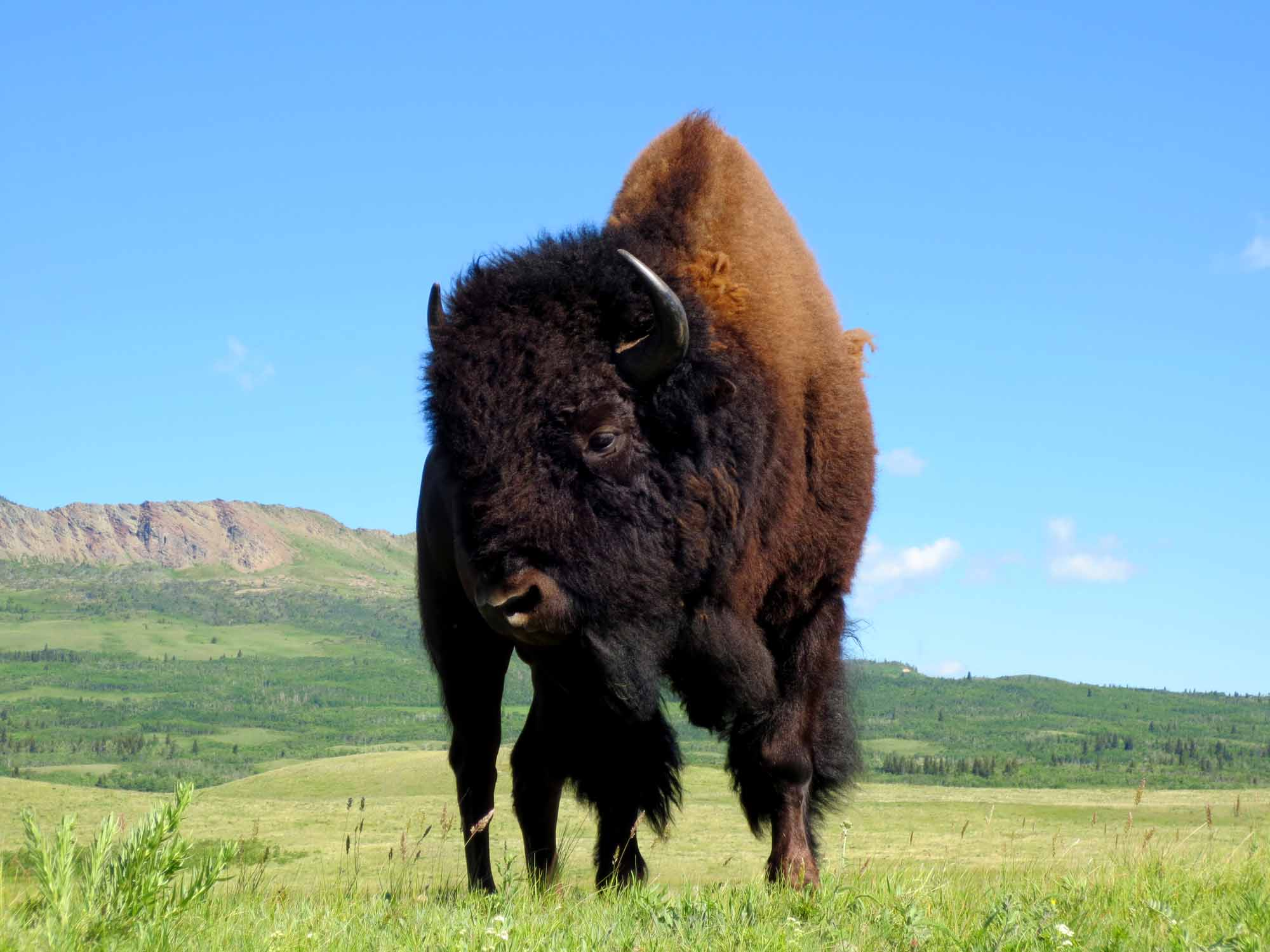 Praire Bison in Waterton Lakes National Park