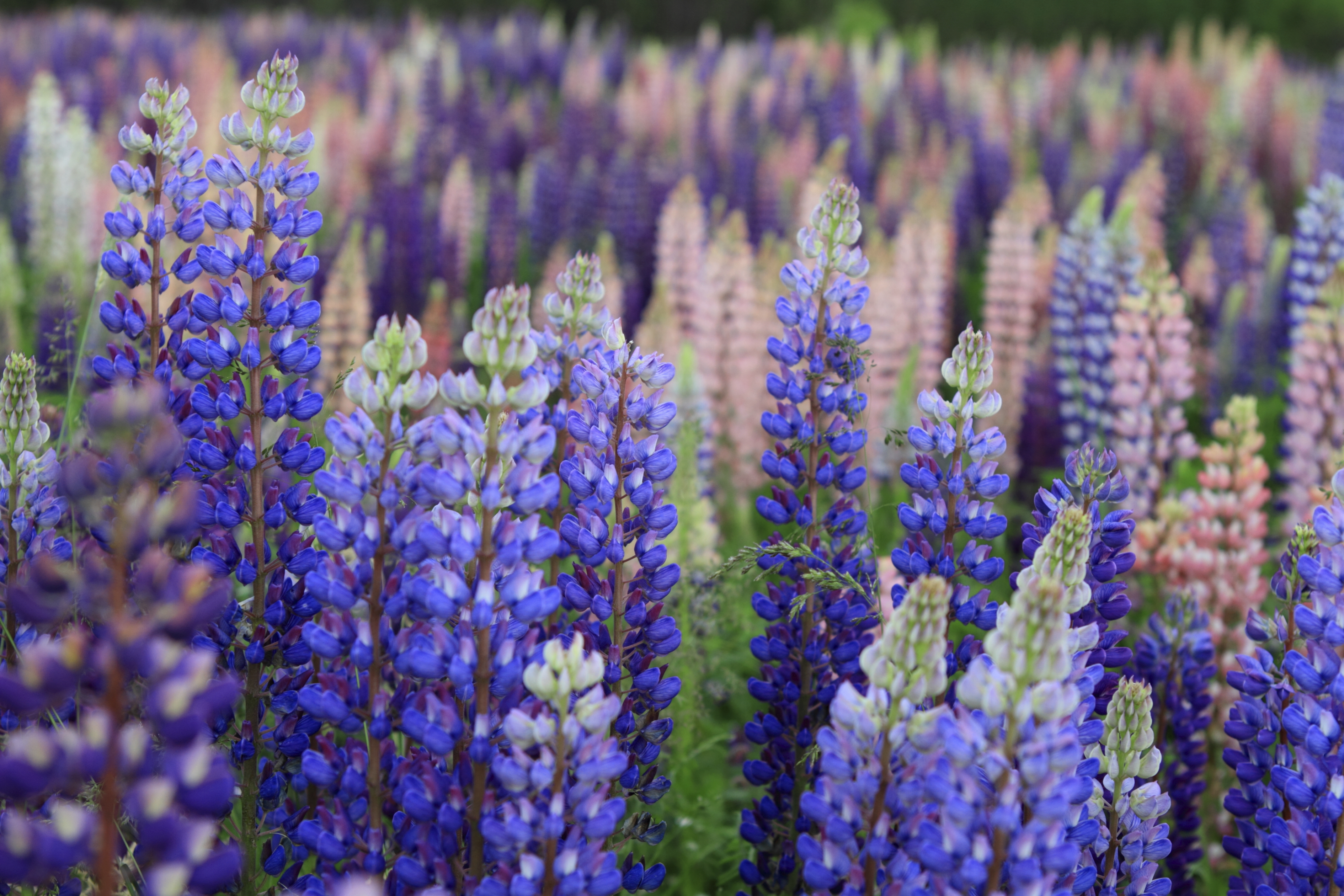 Russell Lupin flowers