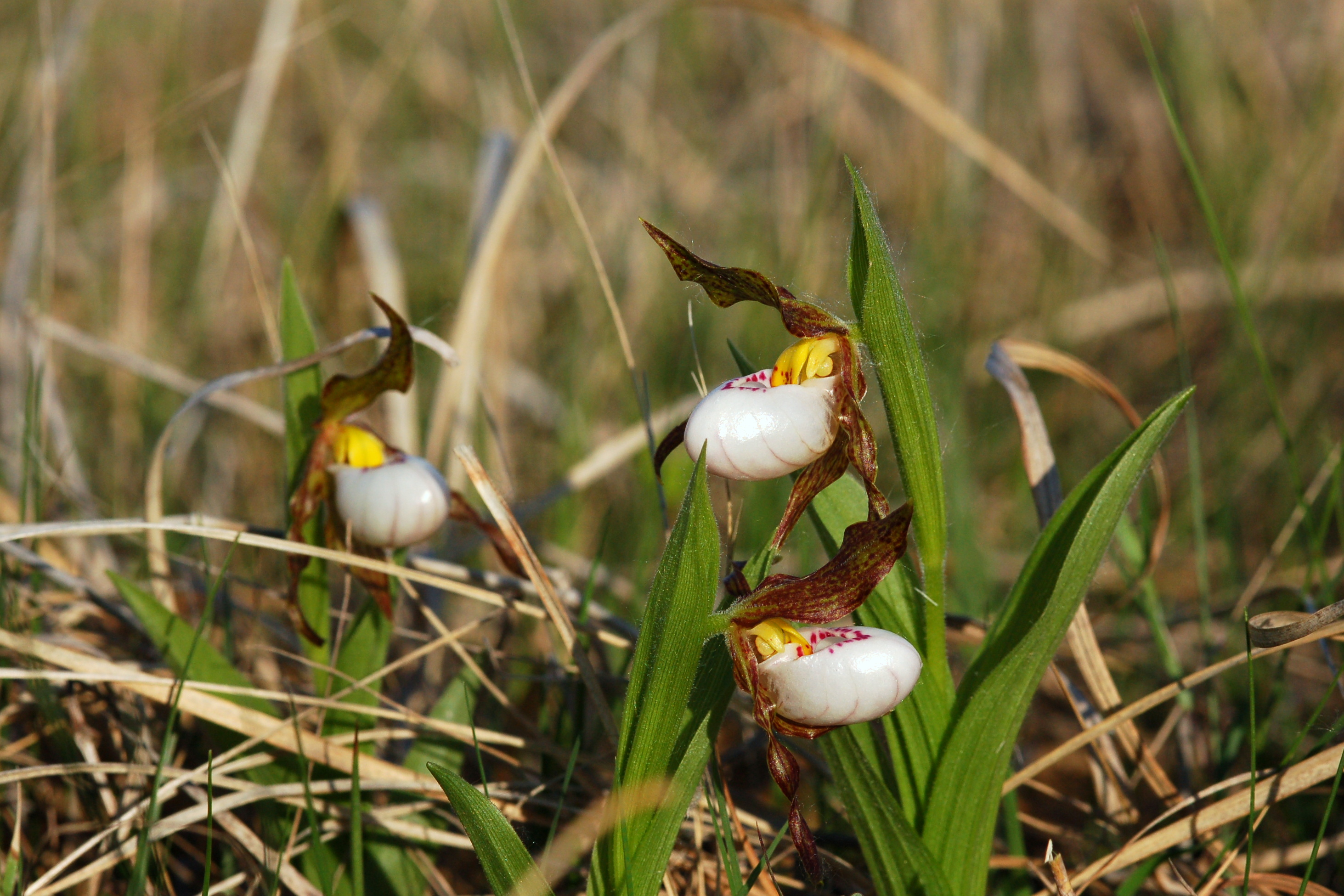 Small White Lady's Slipper
