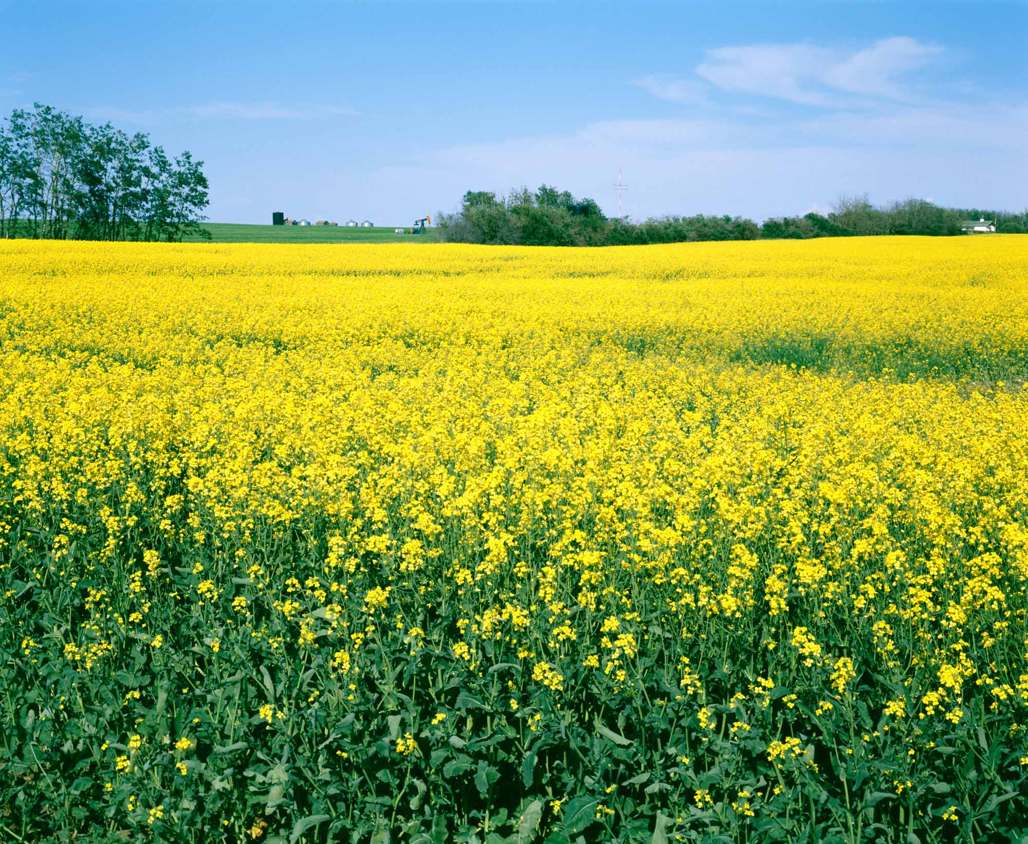 Oilseed crops the canadian encyclopedia canola yellow canola field mightylinksfo