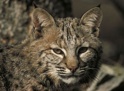 Bobcat, Close-up