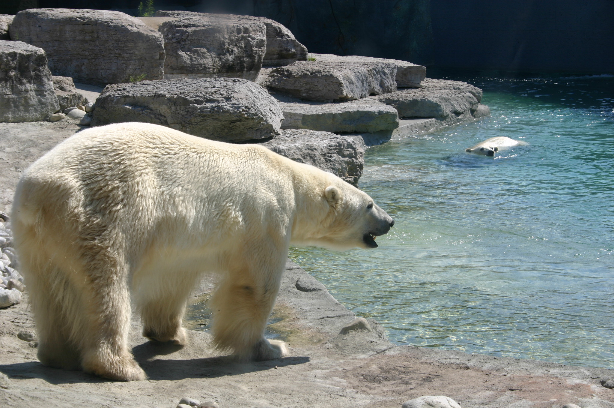 A polar bear at the Toronto Zoo