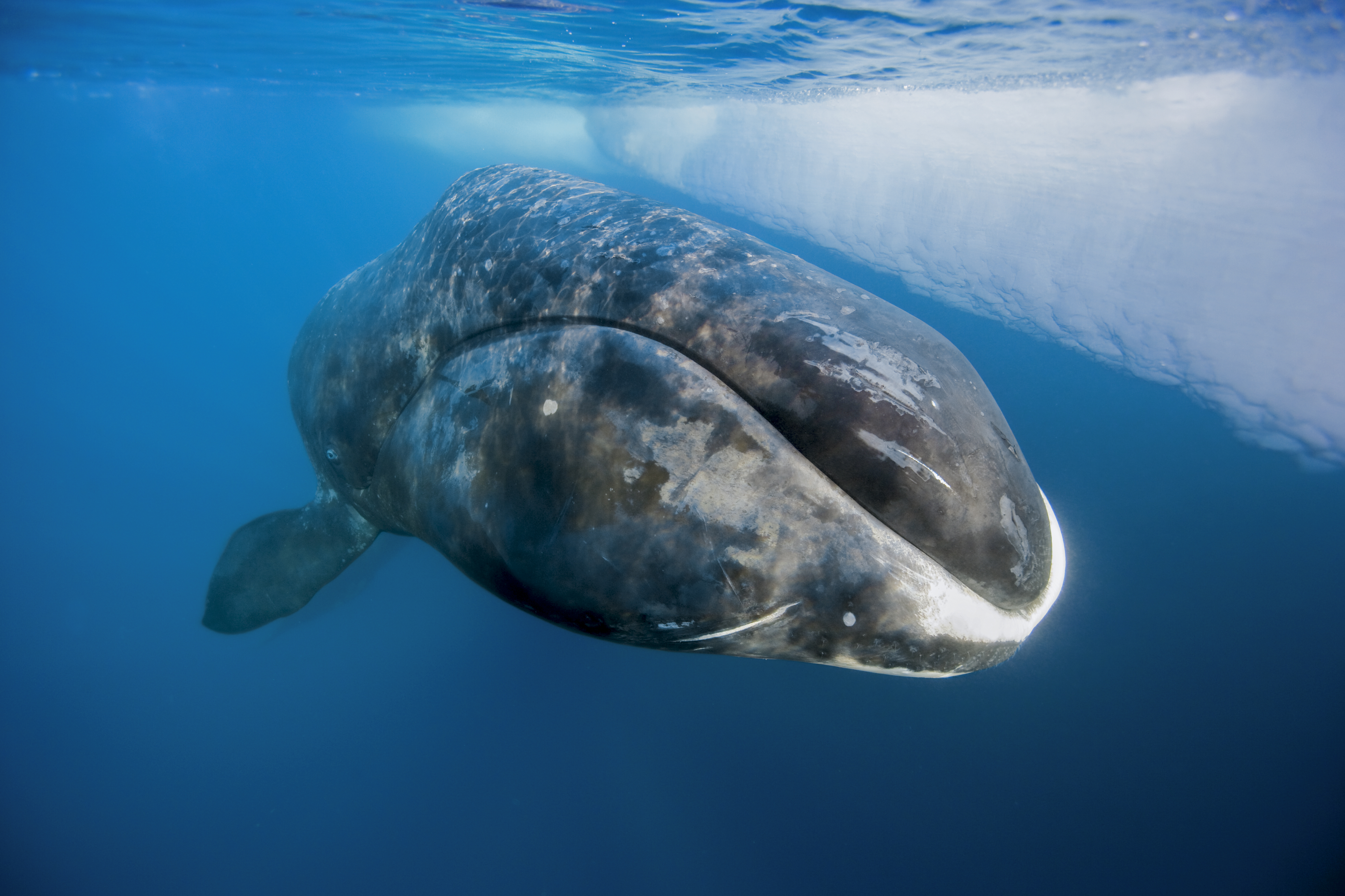 A bowhead whale surfaces from a dive in Lancaster Sound, Nunavut.