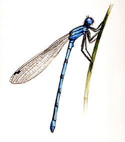 Demoiselle | Demoiselle L Encyclopedie Canadienne