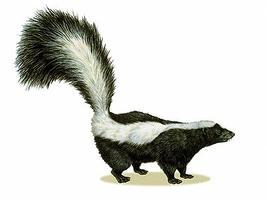 Skunk, Striped
