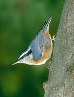 Nuthatch, Red-breasted
