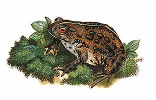 Toad, American