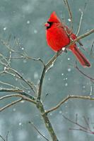 Northern Cardinal, Winter