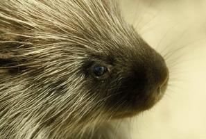 Porcupine, Close-up
