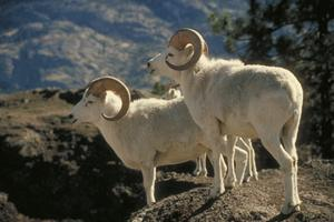 Dall Sheep on Lookout