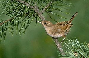 Wren | The Canadian Encyclopedia