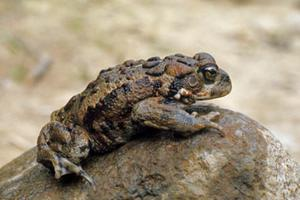 Toad, Western (photo)