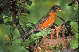 Robin with Young