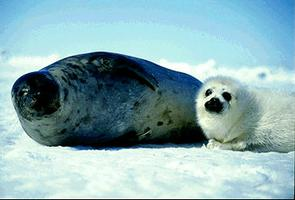 Harp Seal Mother and Baby