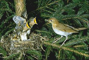 Veery with Young