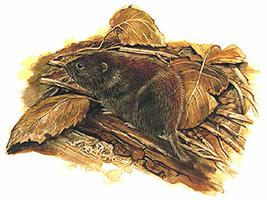 Vole, Southern Red-backed