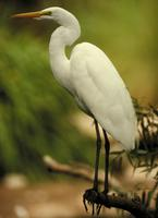 Egret, Great