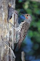 Flicker, Northern