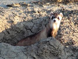 Reintroduced Black-footed Ferret