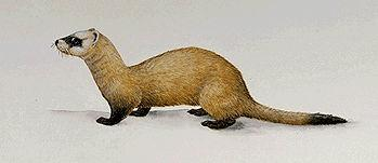 Black-footed Ferret (Side View)
