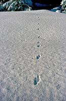 Fisher Tracks in Snow