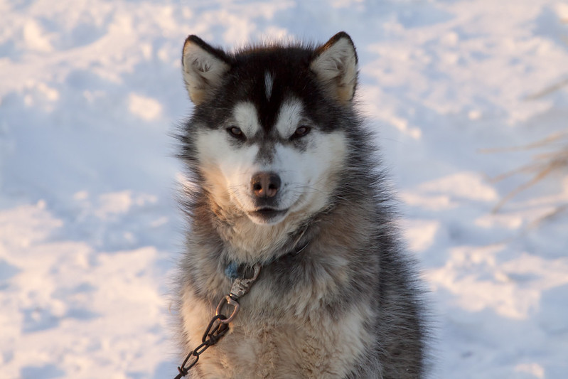 Canadian Inuit Dog