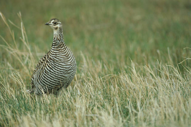 Female Greater Prairie Chicken
