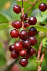 Choke Cherry (Prunus virginiana)