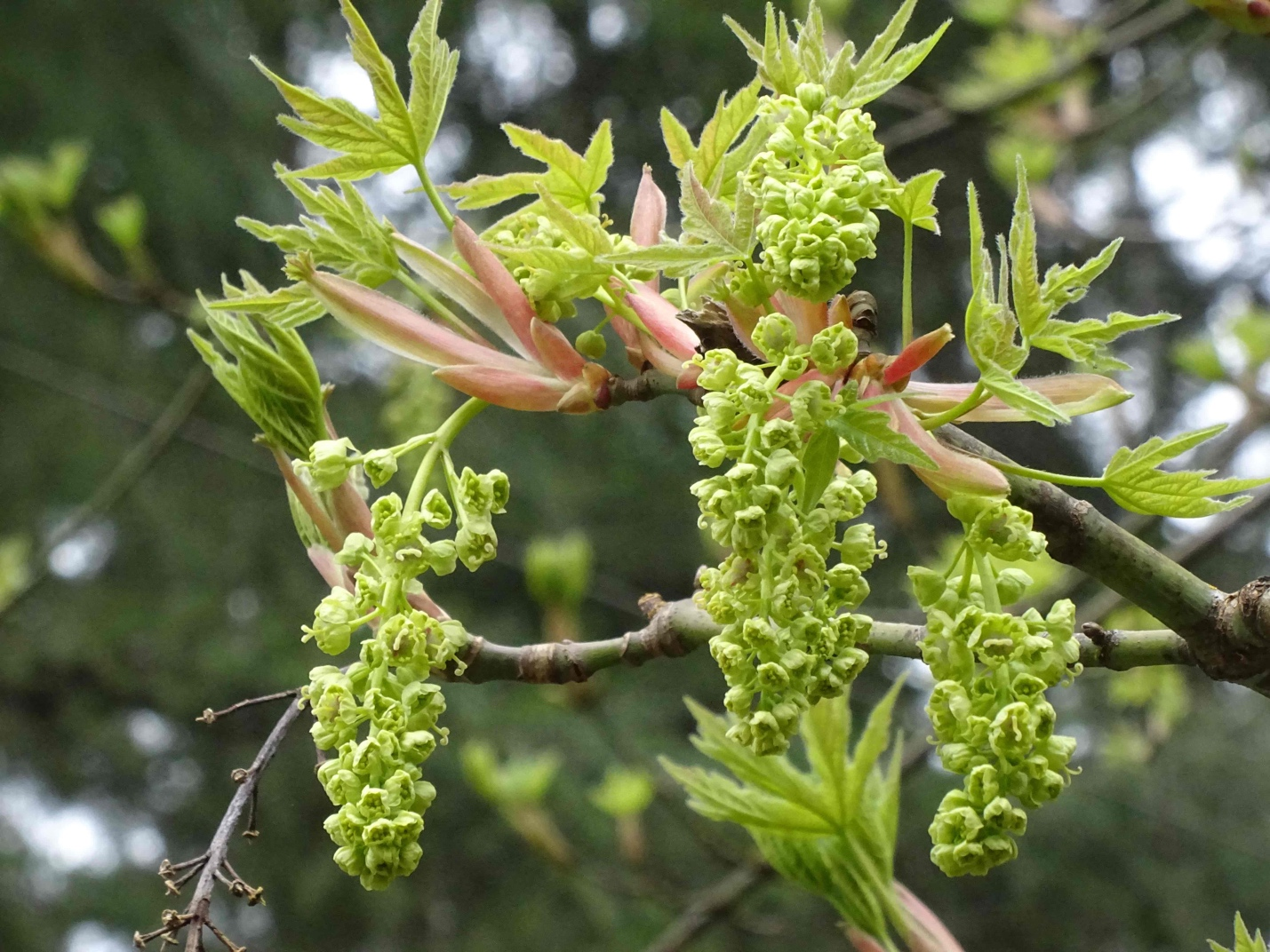 Bigleaf Maple Flowers