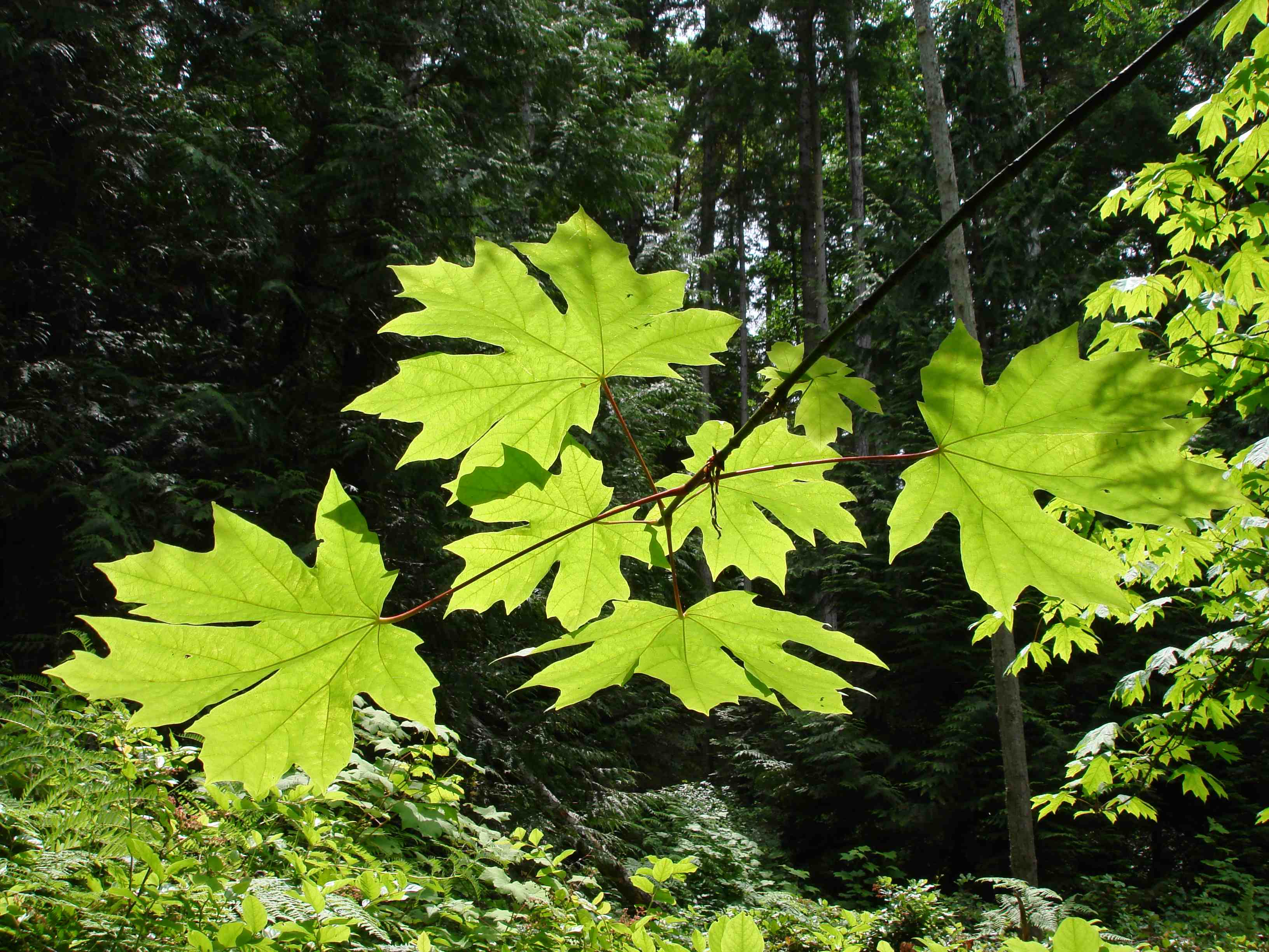 Bigleaf Maple Leaves