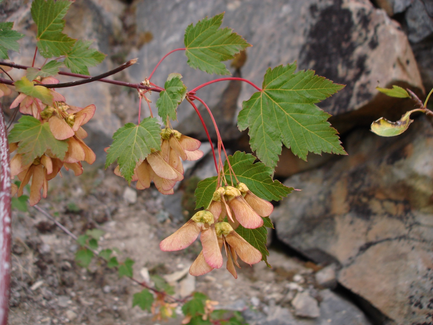 Douglas Maple (Acer glabrum)
