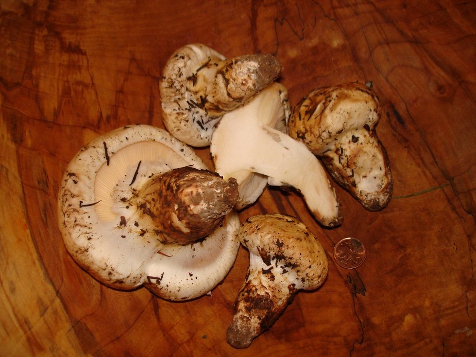 Pine Mushrooms (Tricholoma murrillianum)